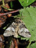 Marbled Brown Moth