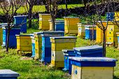 Blue And Yellow Beehives In Garden.