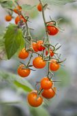 Bunch Of Small Tomatoes Hanging From Plant