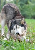 stock photo of sled dog  - beautiful husky dog chewing on a piece of wood - JPG