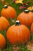 Organic Orange Pie Pumpkin