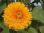 Double Flowered Sunflower