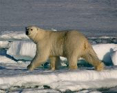 Trudge of the Ice Bear