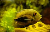 Golden Color Fish In Aquarium