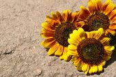 Beautiful sunflowers on stone outdoors