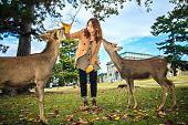 Nara Deer At Fall, Japan