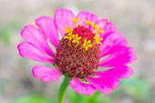 Pink Zinnia Flower At Center Closeup