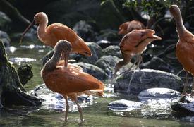 foto of scarlet ibis  - Scarlet Ibis family drinking water and cleaning in a creek - JPG