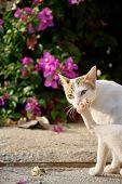 white cat licking paw