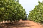 picture of walnut-tree  - rows of walnut trees on a plantation - JPG
