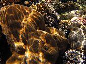 Pachyseris Speciosa Coral
