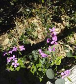 Flower Of Lunaria