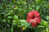 stock photo of rosa  - Hibiscus Rosa-sinensis on a green garden background ** Note: Shallow depth of field - JPG
