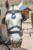 stock photo of harness  - head of a white horse in a leather harness - JPG