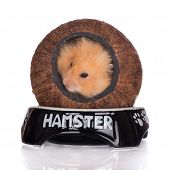 picture of hamster  - purebred syrian hamster posing on white background - JPG