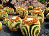 Golden Barrel Cactus in Lanzarote (Spain)