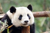 Giant Panda - Sad, Tired, Bored looking Pose. Chengdu, China