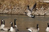 Canada Goose Taking Off From A River