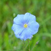 Flax Flower, Linum Usitatissimum