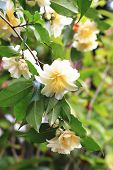 stock photo of yellow buds  - Camellia flowers and buds - JPG