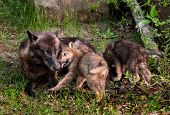 Grey Wolf (canis Lupus) Pup Licks Mother's Mouth