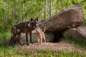 image of lupus  - Mother Black Wolf  - JPG