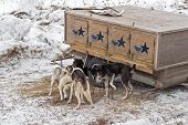Dog Sled Dogs Gather Around Dog Box
