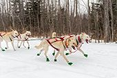 pic of sled-dog  - Sled Dogs Race Along Trail  - JPG