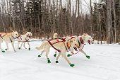 stock photo of sled-dog  - Sled Dogs Race Along Trail  - JPG