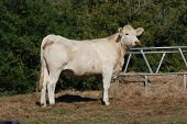 foto of charolais  - Charolais cattle are a beef breed which originated in Charolais, around Charolles, in France. ** Note: Soft Focus at 100%, best at smaller sizes - JPG