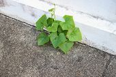 Ivy Gourd Plant Growing On The Footpath