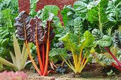 stock photo of hydroponics  - Swiss Chard hydroponics in the vegetable garden - JPG