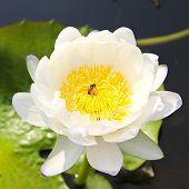 Waterlily Or Lotus Flower In Pond.
