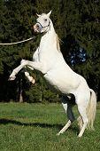 Beautiful White Arabian Stallion Prancing