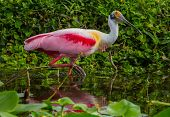 Roseate Spoonbill Looking Up