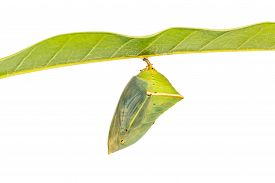 foto of garuda  - Close up of mature Mango Baron  - JPG