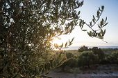 foto of olive trees  - Olive trees and sun rays - JPG