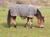 picture of horses eating  - Horse wearing a horse blanket grazing in an open field - JPG
