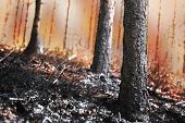 picture of ashes  - Forest on fire with scorched trees and black ash in foreground - JPG