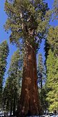 picture of sequoia-trees  - General Sherman Tree, sequoia - the biggest tree on the Earth by volume and weight.  Its age is about 2200 years, weight 1256 metric tons, circumference - 31 meters. - JPG