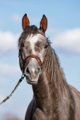 stock photo of thoroughbred  - Portrait of a sports thoroughbred horse in a bridle.
