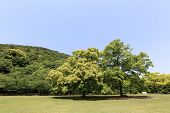 image of camphor  - public park with green grass field and green fresh tree plant - JPG