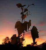 Hojas de plantas vinos