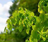 stock photo of linden-tree  - Linden tree leaves - JPG