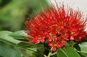 picture of southeast  - Bright red tropical flower in bloom Koh Samui Thailand Southeast Asia - JPG