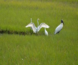 picture of marshlands  - Tropical birds in the wild on the marshland of Florida - JPG