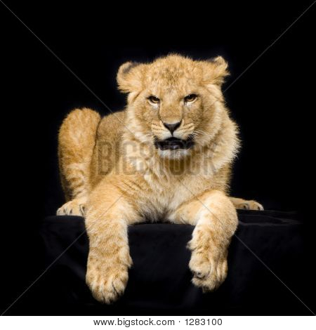 Picture or Photo of Studio shots of lion cub (seven months) lying down in front of a black background. all my pictures are taken in a photo studio.
