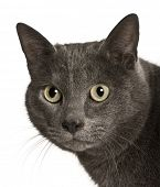 Chartreux cat, 2 years old, in front of white background