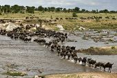 Wildebeest, crossing river Mara, Serengeti National Park, Serengeti, Tanzania, Africa