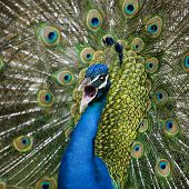 Close-up of Male Indian Peafowl displaying tail feathers